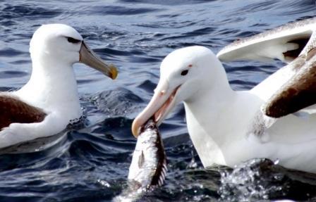 albatros comiendo