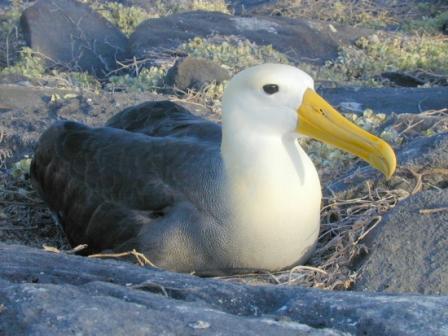 albatros-galapagos