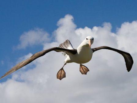 albatros-sobrevolando