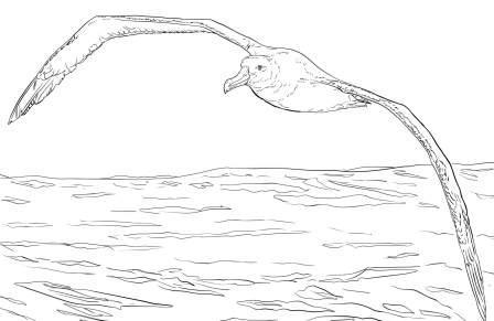 dibujo de albatros