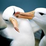 dos-albatros